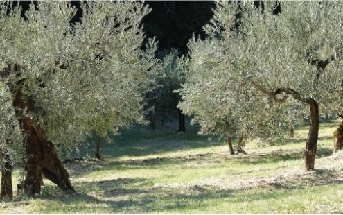 sansa vergine d'oliva
