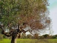Calendario Trattamenti Olivo Puglia.Sputacchina Dell Olivo Come Difendersi Cno